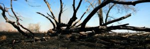 Burnt tree on ground